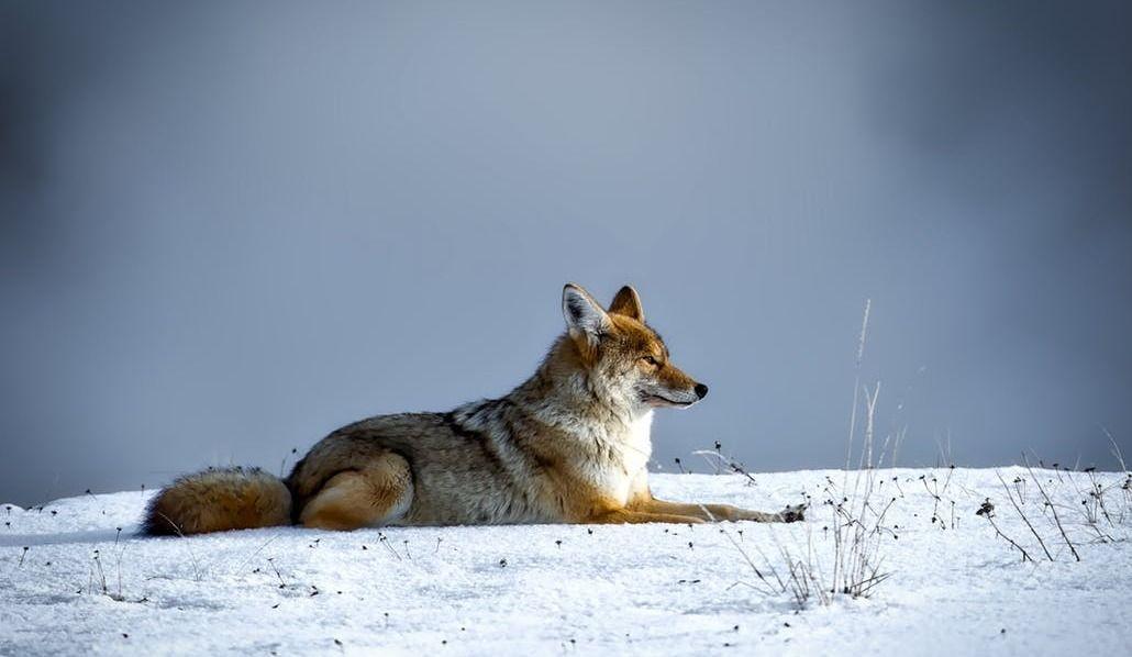 Increased Coyote Sightings in MTL