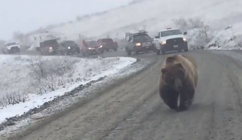 Un grizzly crée un embouteillage!