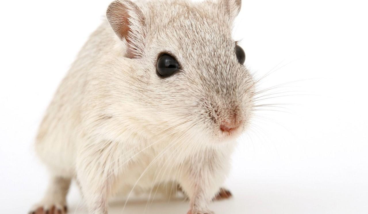 Un vaccin a éliminé le cancer sur des souris