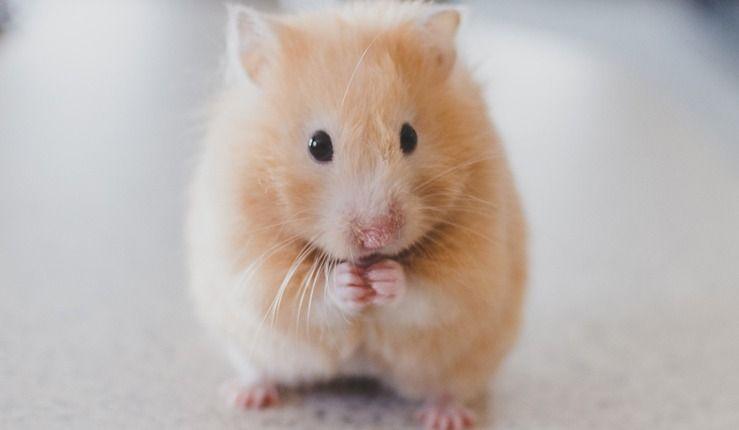 Une étudiante a dû jeter son hamster à la toilette