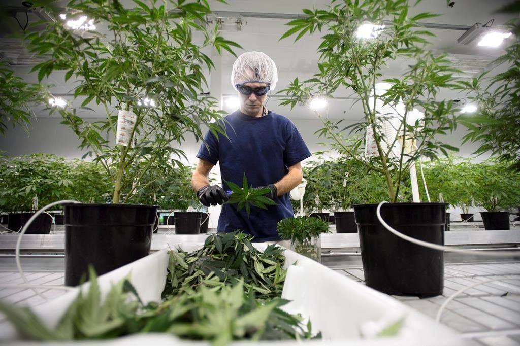 Marijuana: le gouvernement menace de restreindre les débats au Sénat