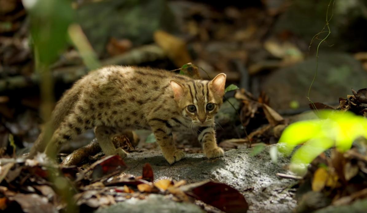 Le plus petit chat au monde